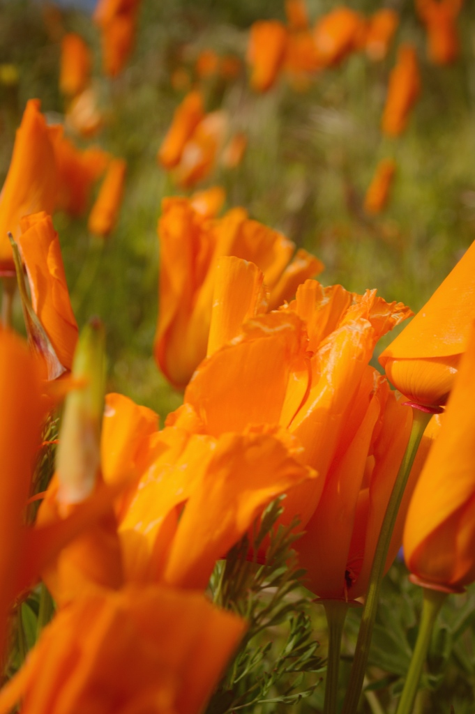 Orange poppies LaVonne Grady photography