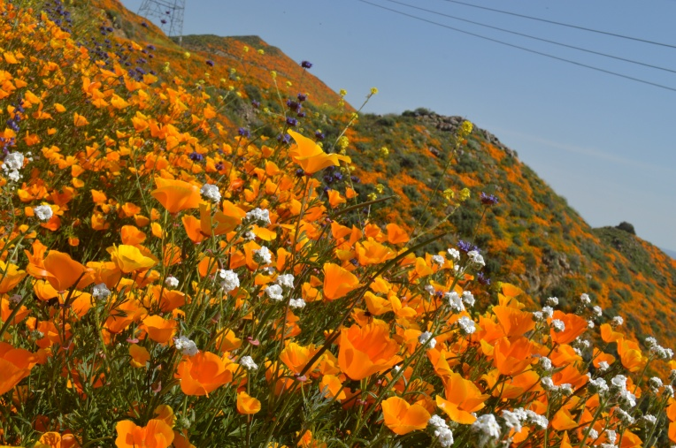 Lavonne Grady photography walker canyon Lake Elsinore super bloom